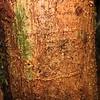 Conn5431 Levieria squarrosa