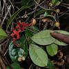 Conn5335 Palmeria arfakiana