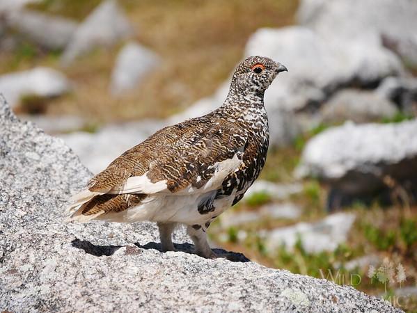 Ground Birds