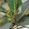 Conn5393 Ficus adenosperma
