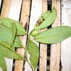 SAJ1451 Ficus tinctoria