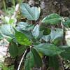 Conn5367 Ficus wassa