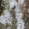 Conn5353 Ficus microdictya