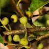 SAJ1450 Ficus disticha