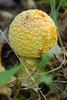 A yellow Amanita Muscaria Mushroom (poisonous)