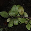 SAJ0115 Myrsine cacuminum