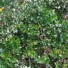 Conn5515 Decaspermum forbesii