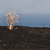 Big Island Hawaii<br /> Trees killed by volcanic activity beneath soil