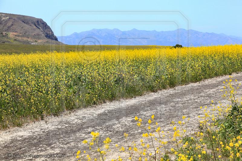 Yellow Mustard Flowers along Potato Harbor Road, Santa Cruz Island