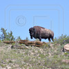 Lone American Bison