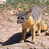 Island Fox at Scorpion Ranch, Santa Cruz Island