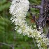 Bear Grass Bloom