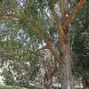 Eucalyptus Trees in Scorpion Ranch, Santa Cruz Island