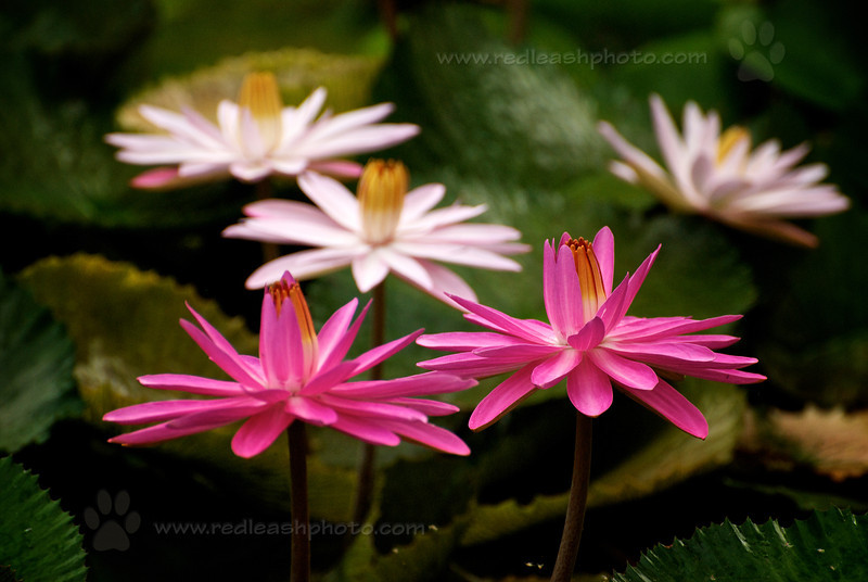 Group of Water Lilies
