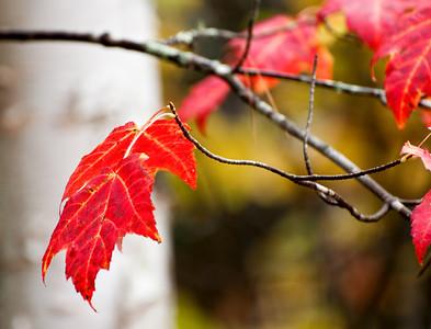 Autumn Leaves No. 16