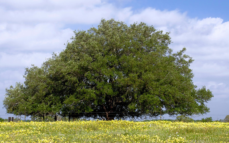 Live Oak in a Field