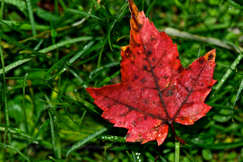 Red Leaf, Green Grass