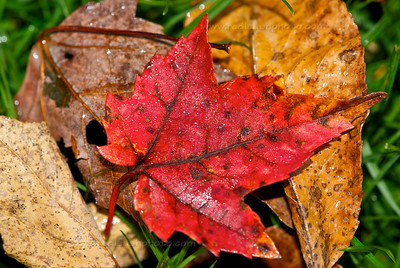 Red Leaf, Brown Leaves