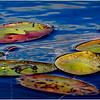 Adirondacks Cedar River Flow Lilypads 5 September 24 2016