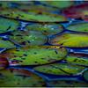 Adirondacks Cedar River Flow Lilypads 2 September 24 2016