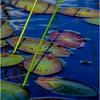 Adirondacks Cedar River Flow Lilypads 3 September 24 2016