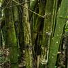 Puerto Rico February 2016 El Yunque Bamboo 3