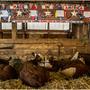 Schaghticoke Fair Cow 15 September 2016