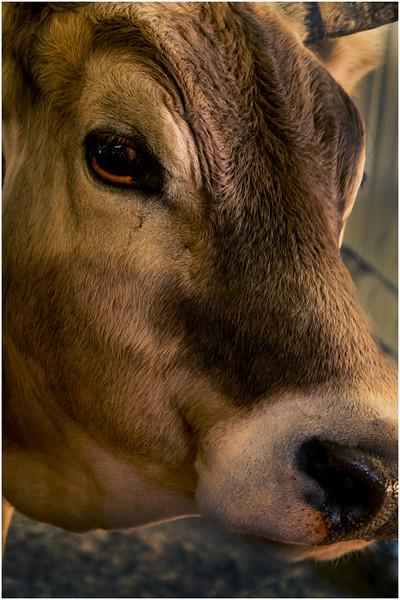 Schaghticoke Fair Cow 1 September 2016