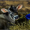 Schaghticoke Fair Cow 7 September 2016