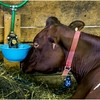 Schaghticoke Fair Cow 6 September 2016