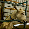 Schaghticoke Fair Goat 4 September 2016