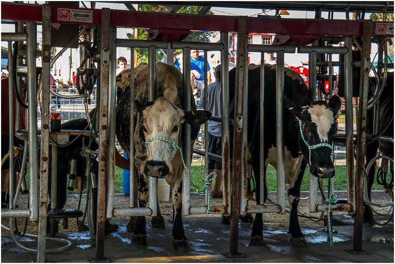 Schaghticoke Fair Cow 12 September 2016