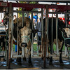Schaghticoke Fair Cow 12 September 2016