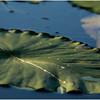 Adirondacks Forked Lake Inlet Lilypads 5 July 2017