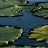 Adirondacks Forked Lake Inlet Lilypads 4 July 2017