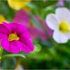 Altamont NY Flowers 14 June 2018
