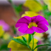 Altamont NY Flowers 11 June 2018