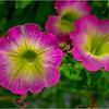 Altamont NY Flowers 2 June 2018