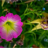Altamont NY Flowers 3 June 2018