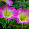 Altamont NY Flowers 8 June 2018