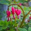 Delmar NY Backyard Flowers 4 May 2018