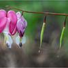 Delmar NY Backyard Flowers 9 May 2018