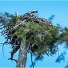 Adirondacks Squaw Lake Osprey 4 July 2018