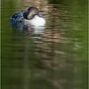 Adirondacks Seventh Lake Loon 23 September 2018