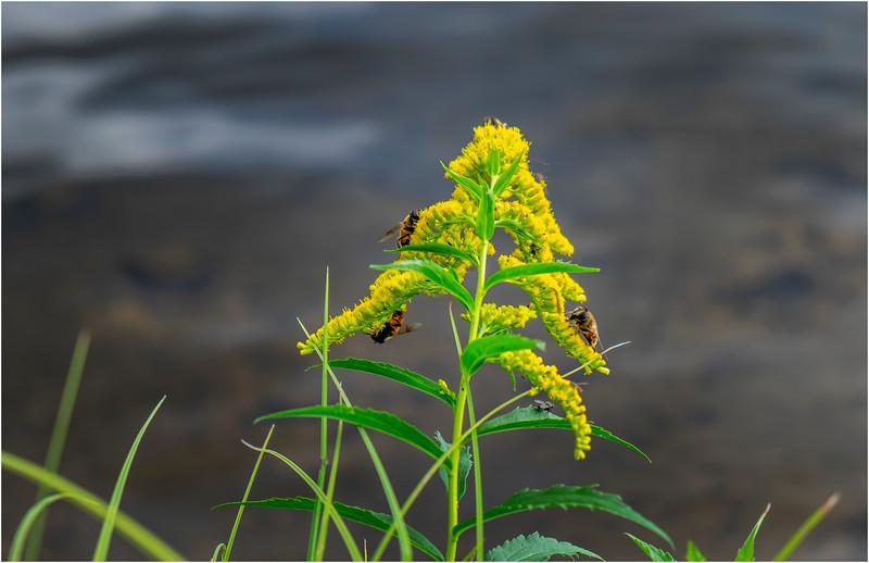 Adirondacks Seventh Lake Goldenrod 1 September 2018