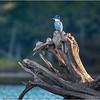 Adirondacks Seventh Lake Kingfisher 4 September 2018