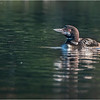 Adirondacks Seventh Lake Loon 12 September 2018