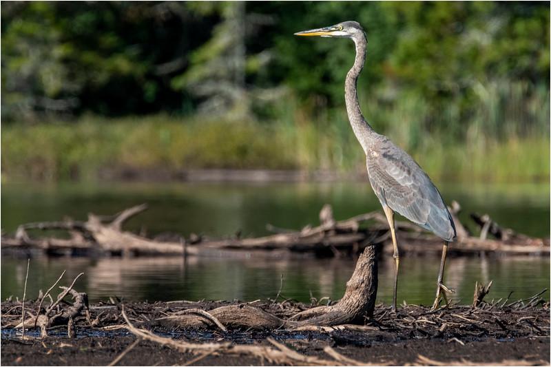Adirondacks Seventh Lake Great Blue Heron 6 September 2018