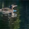 Adirondacks Seventh Lake Loon 27 September 2018