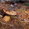 Adirondacks Seventh Lake Mushroom 1 September 2018
